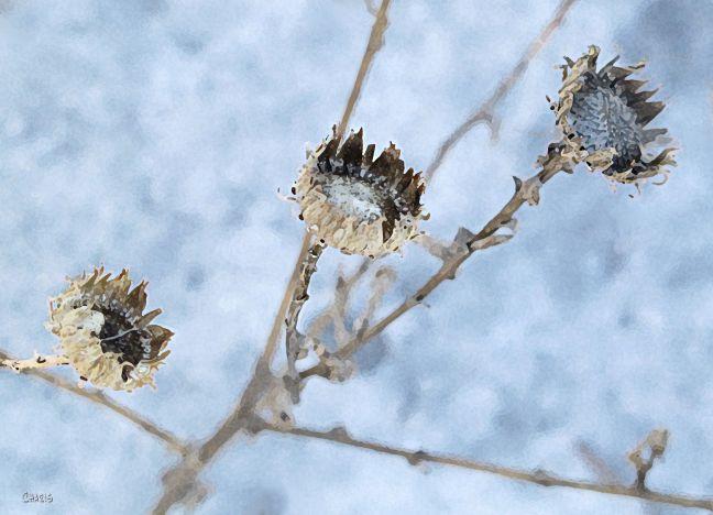 beige blue weeds snow061 (2) ch crop