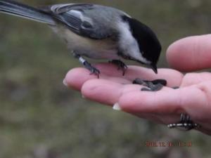 Black-capped Chickadee Eating Freely from Hand