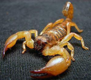 yellow-isreali-scorpion