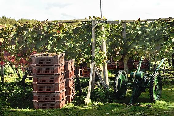 2016-10-13 11.54.59 grapes vine.jpg